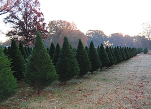 Choose and Cut Christmas Trees at New Castle Christmas Tree Farm near Forrest City, Arkansas.
