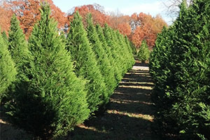 A row of beautiful and fresh Christmas trees ready to be cut at New Castle Farms in Forrest City, Arkansas.